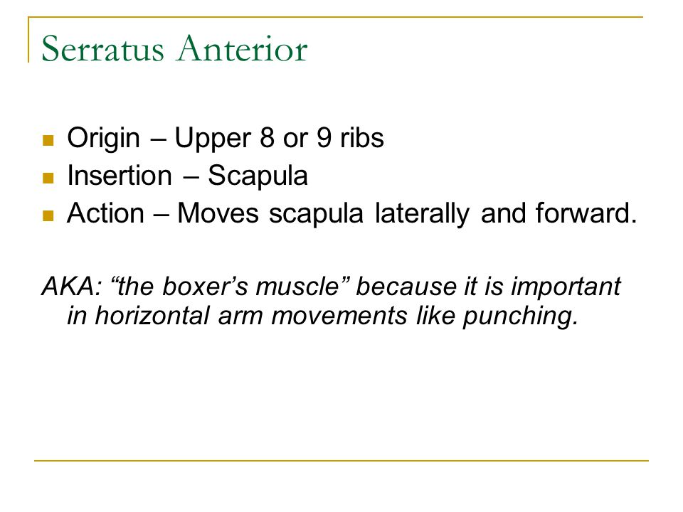 Serratus Anterior Origin – Upper 8 or 9 ribs Insertion – Scapula