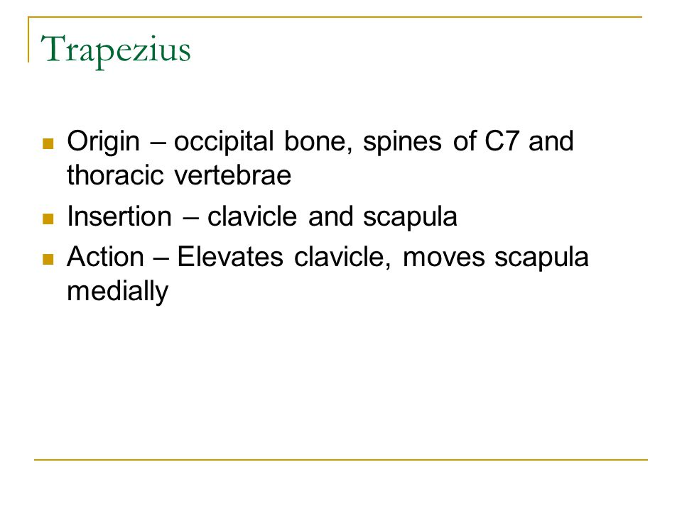 Trapezius Origin – occipital bone, spines of C7 and thoracic vertebrae