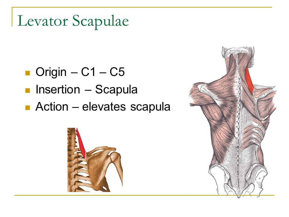 Levator Scapulae Origin – C1 – C5 Insertion – Scapula
