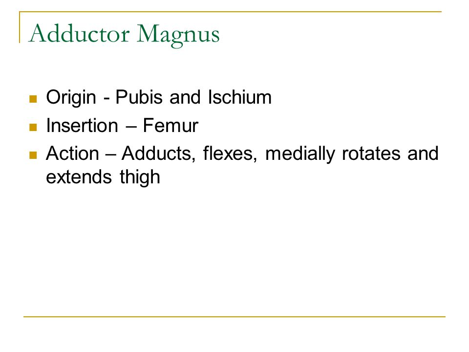 Adductor Magnus Origin - Pubis and Ischium Insertion – Femur