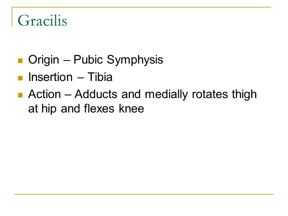 Gracilis Origin – Pubic Symphysis Insertion – Tibia