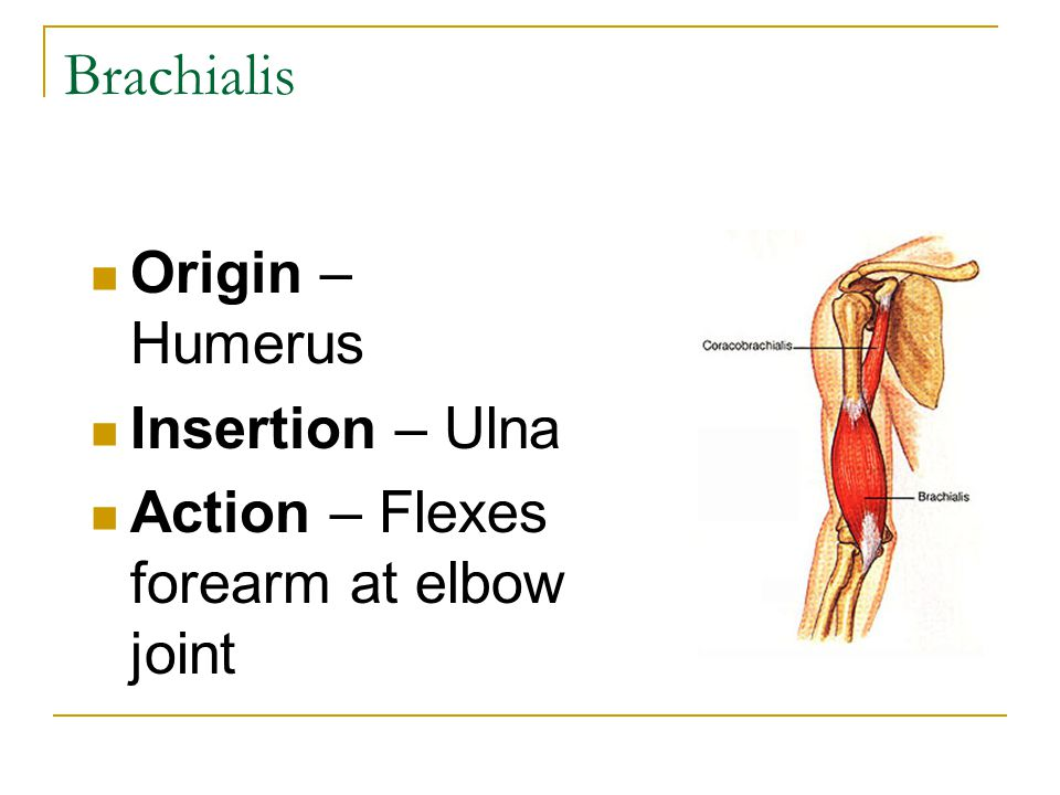 Brachialis Origin – Humerus Insertion – Ulna
