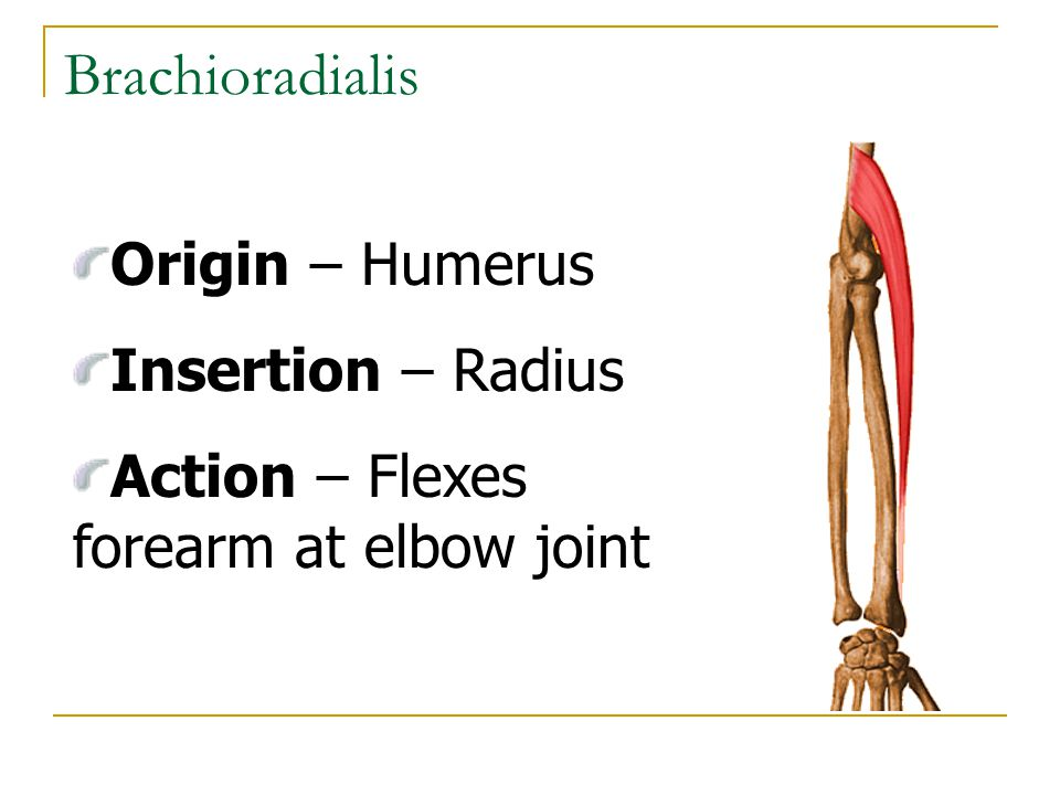 Brachioradialis Origin – Humerus Insertion – Radius