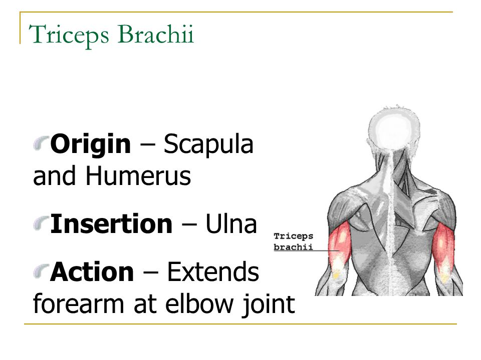 Triceps Brachii Origin – Scapula and Humerus Insertion – Ulna