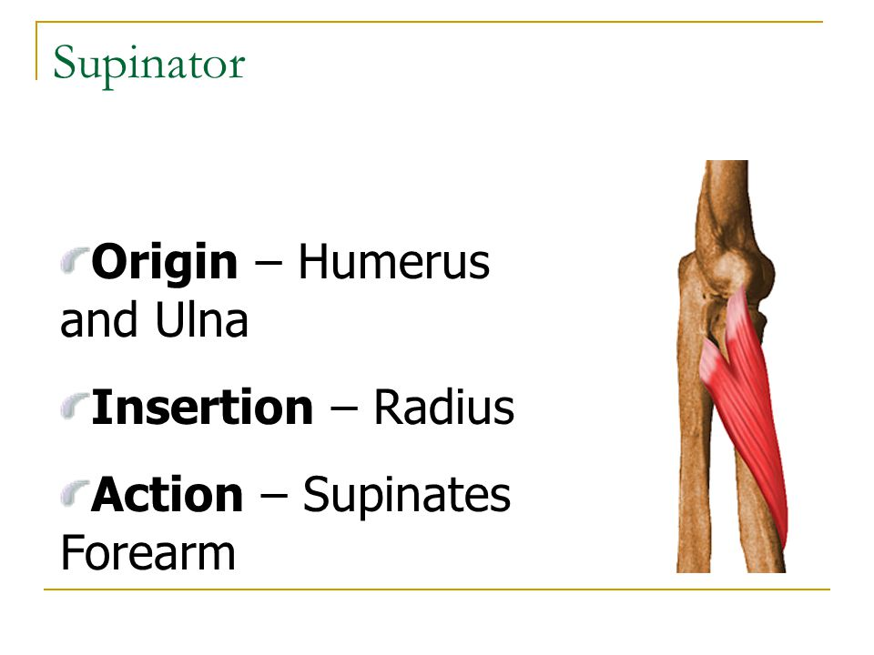 Supinator Origin – Humerus and Ulna Insertion – Radius