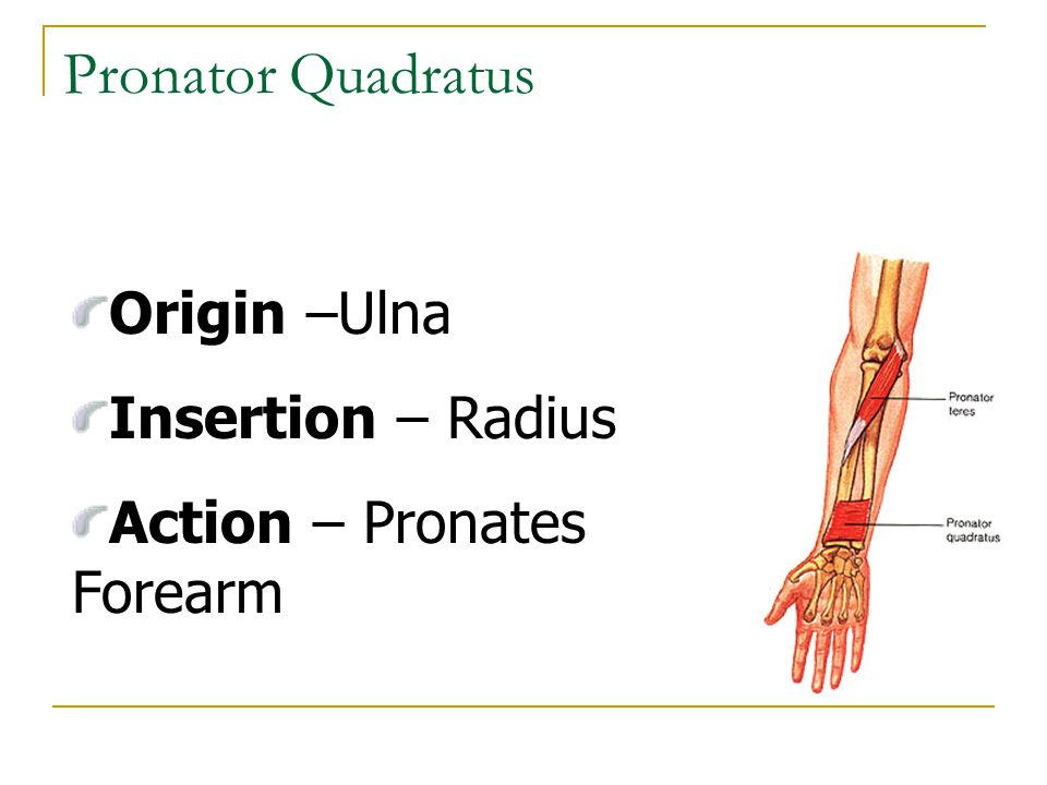 Pronator Quadratus Origin –Ulna Insertion – Radius