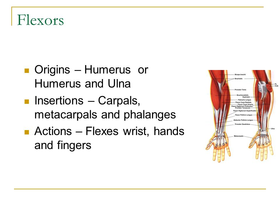 Flexors Origins – Humerus or Humerus and Ulna