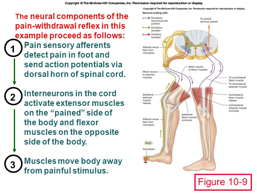 1 2 3 Figure 10-9 Pain sensory afferents detect pain in foot and