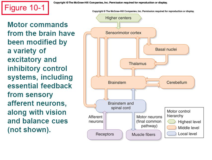 Figure 10-1 Motor commands from the brain have been modified by