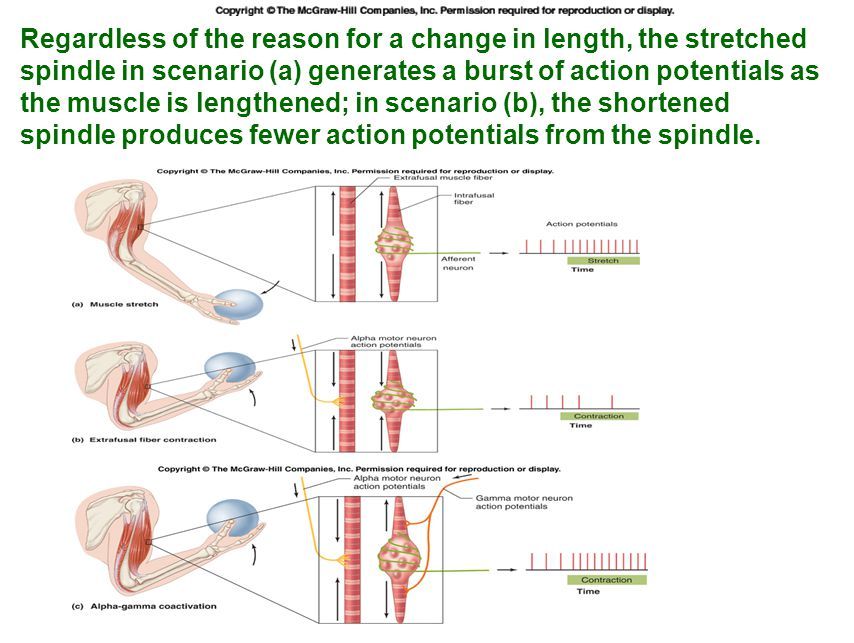 Regardless of the reason for a change in length, the stretched spindle in scenario (a) generates a burst of action potentials as the muscle is lengthened; in scenario (b), the shortened spindle produces fewer action potentials from the spindle.