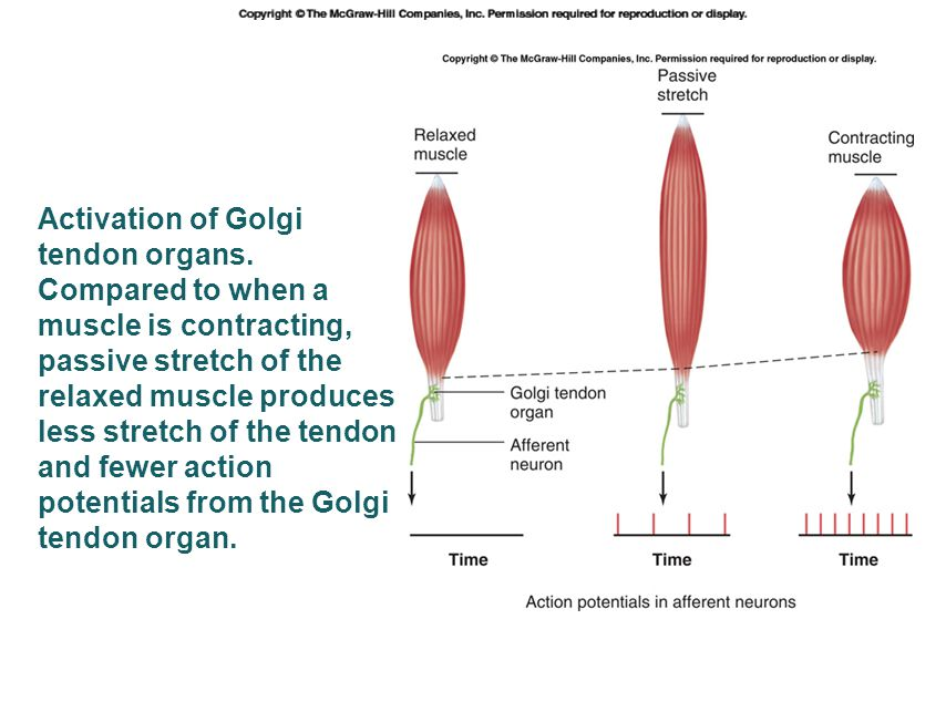 Activation of Golgi tendon organs