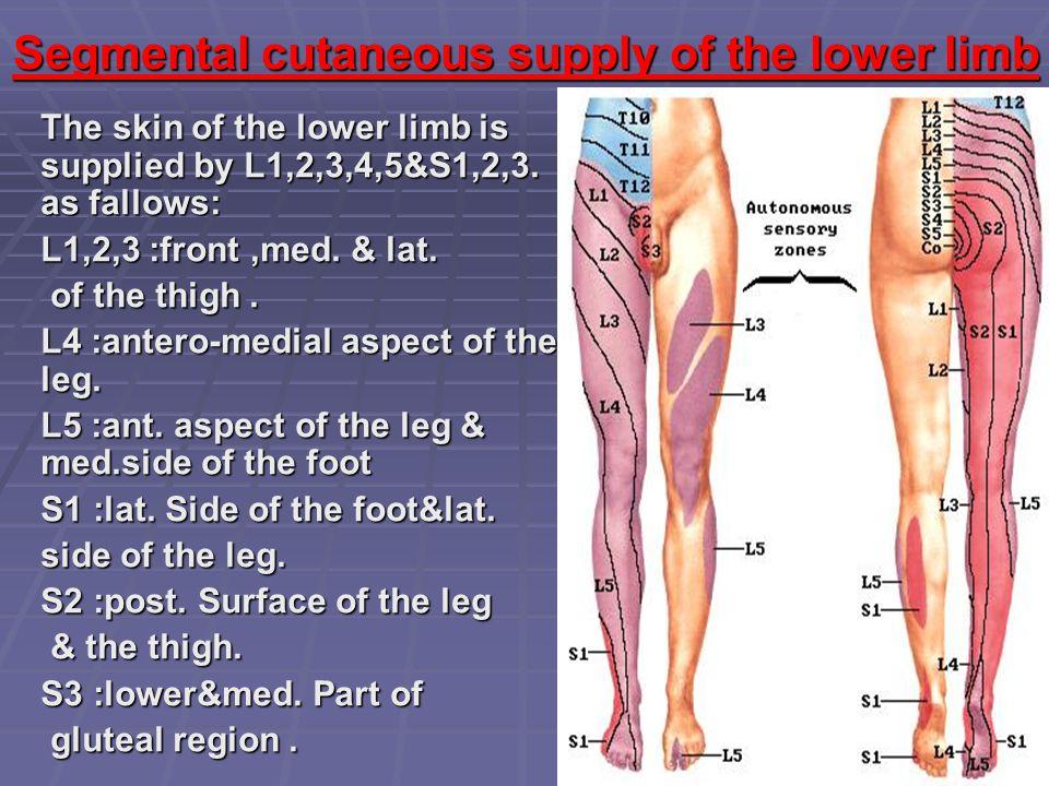 Segmental cutaneous supply of the lower limb