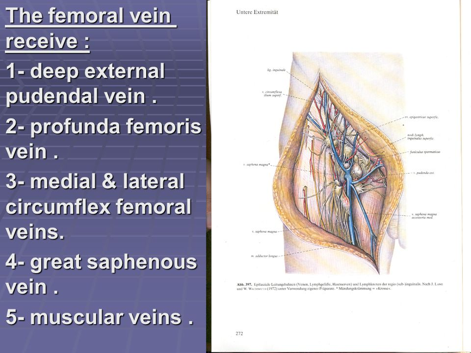 The femoral vein receive :