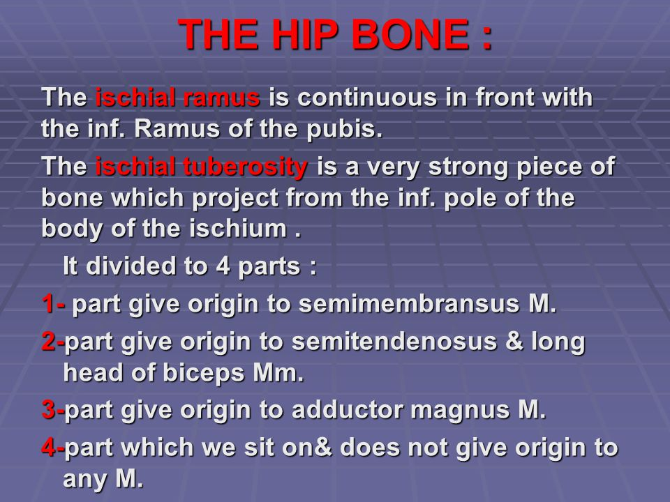 THE HIP BONE : The ischial ramus is continuous in front with the inf. Ramus of the pubis.
