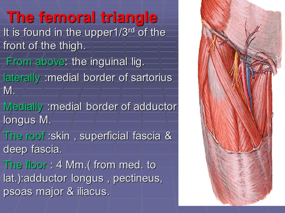 The femoral triangle It is found in the upper1/3rd of the front of the thigh. From above: the inguinal lig.