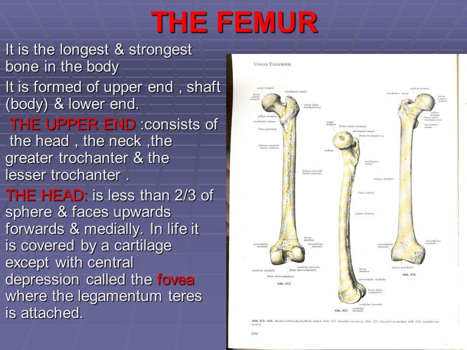 THE FEMUR It is the longest & strongest bone in the body