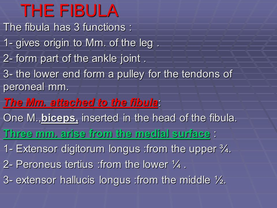 THE FIBULA The fibula has 3 functions :