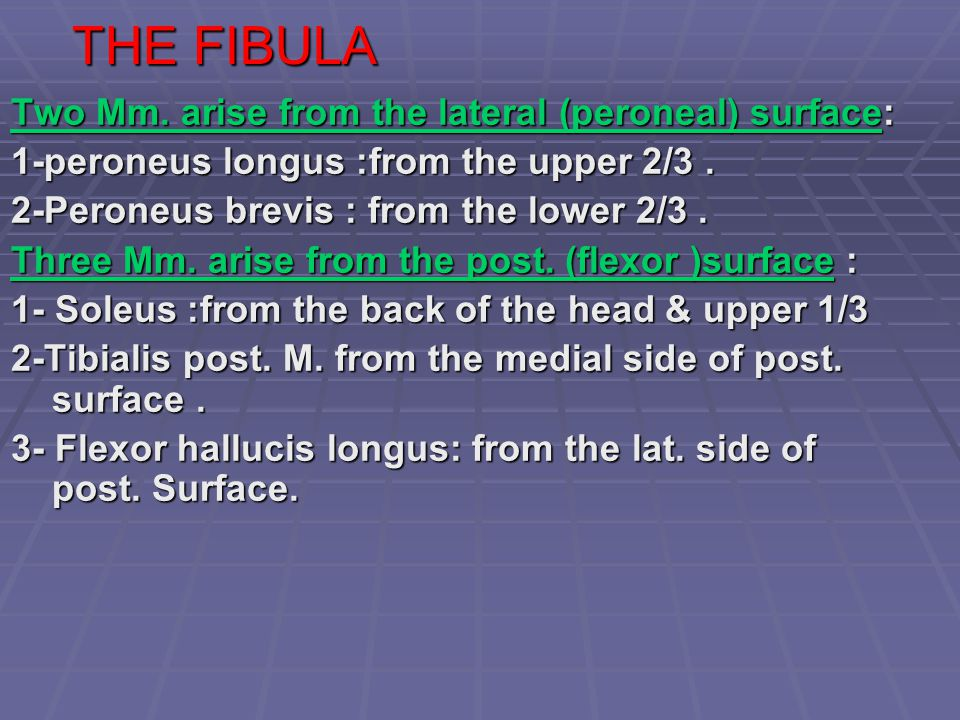THE FIBULA Two Mm. arise from the lateral (peroneal) surface: