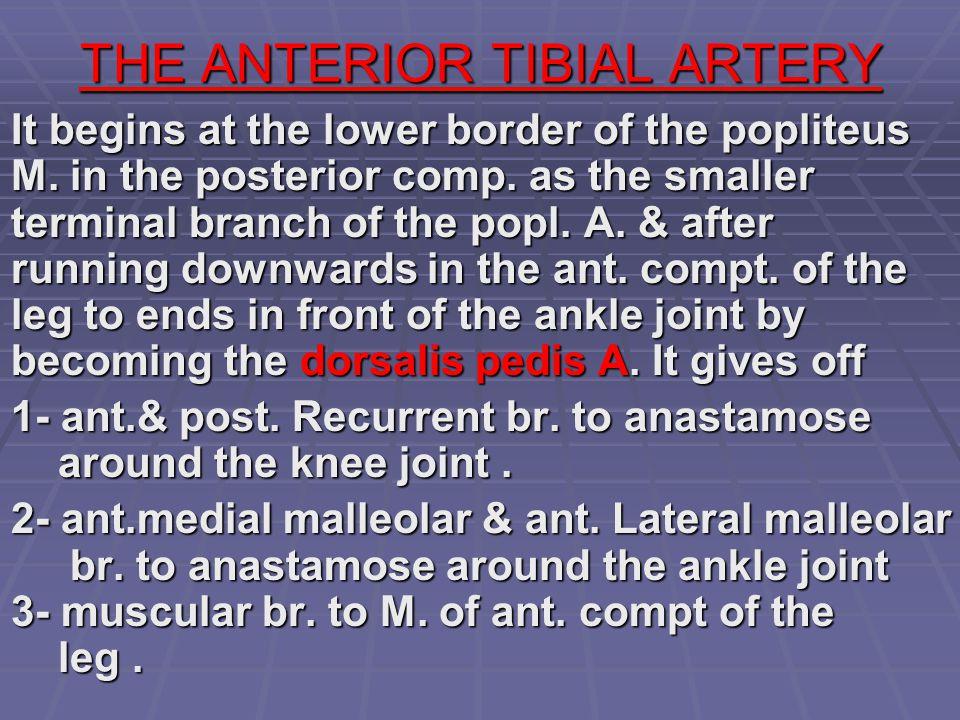 THE ANTERIOR TIBIAL ARTERY