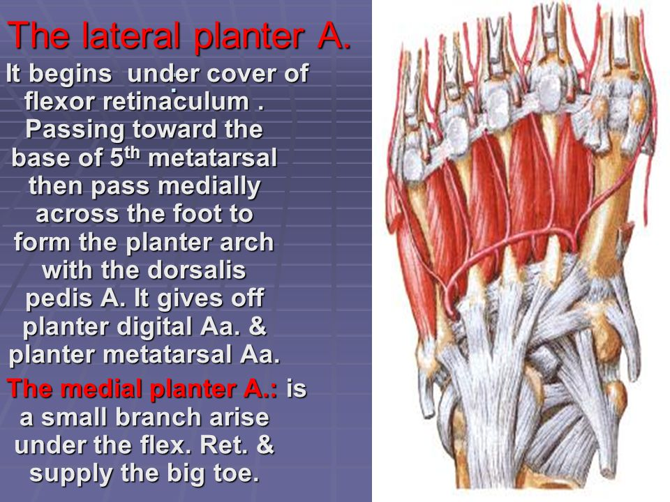 The lateral planter A. :