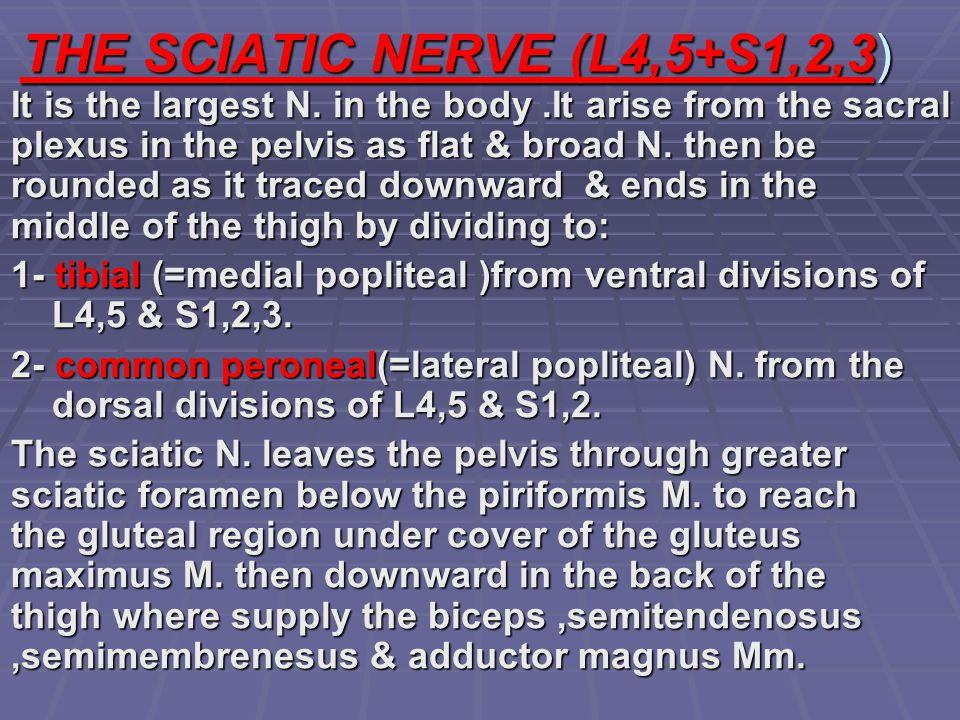 THE SCIATIC NERVE (L4,5+S1,2,3)