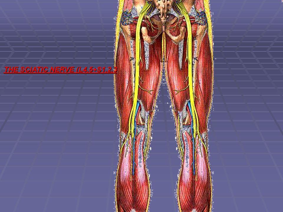 THE SCIATIC NERVE (L4,5+S1,2,3