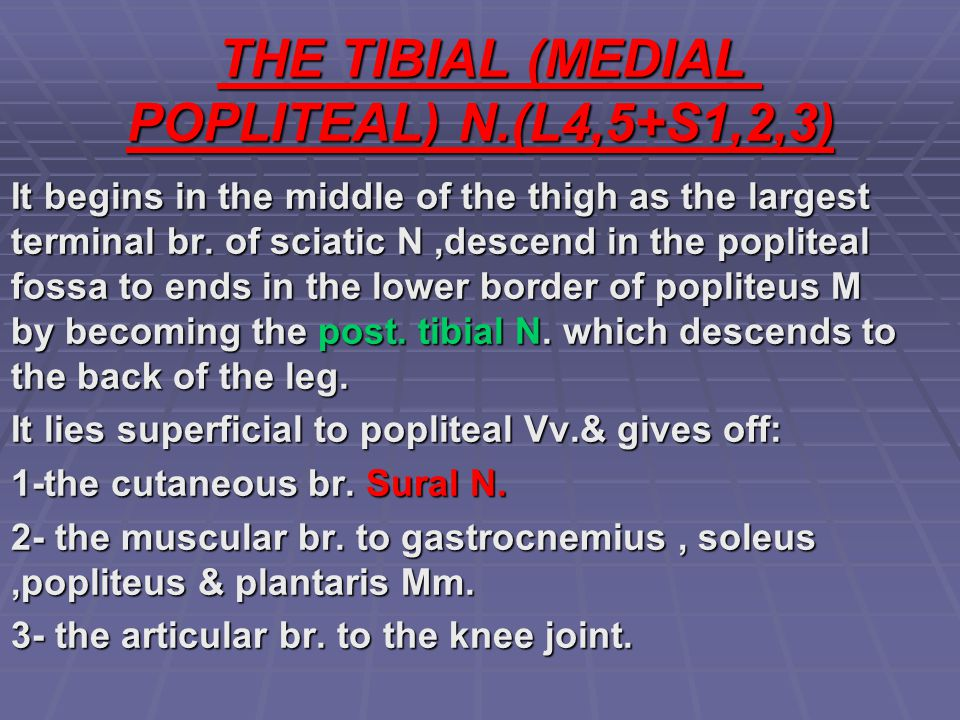 THE TIBIAL (MEDIAL POPLITEAL) N.(L4,5+S1,2,3)