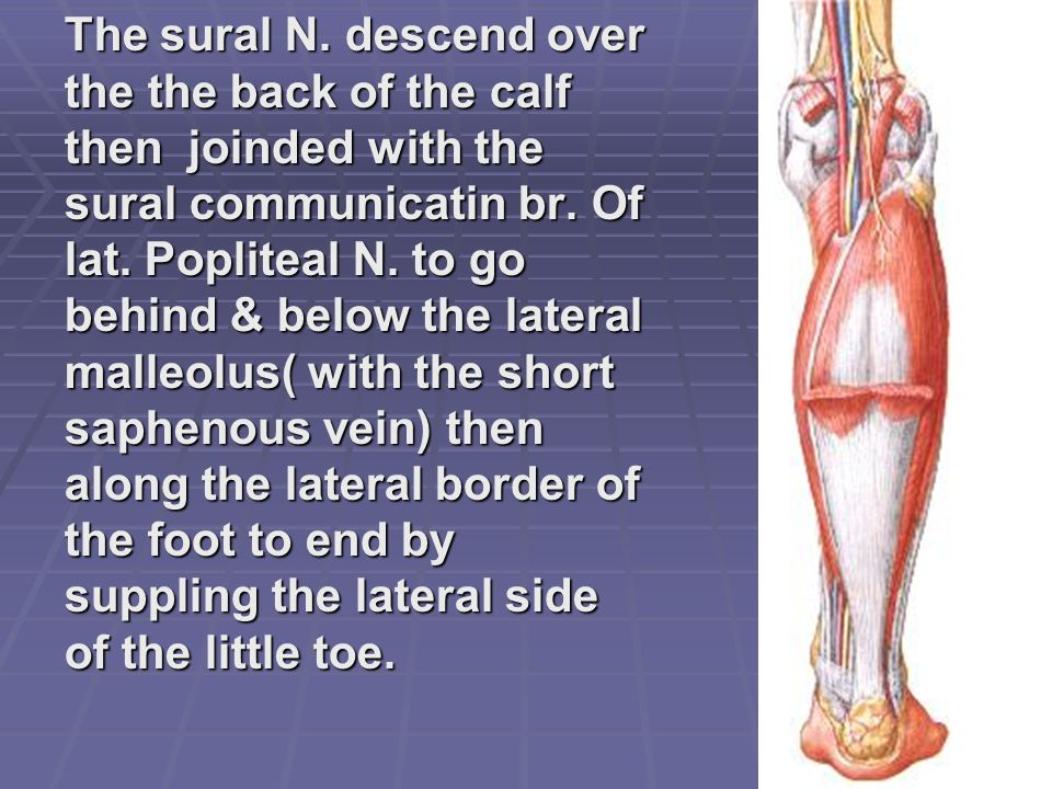 The sural N. descend over the the back of the calf then joinded with the sural communicatin br.
