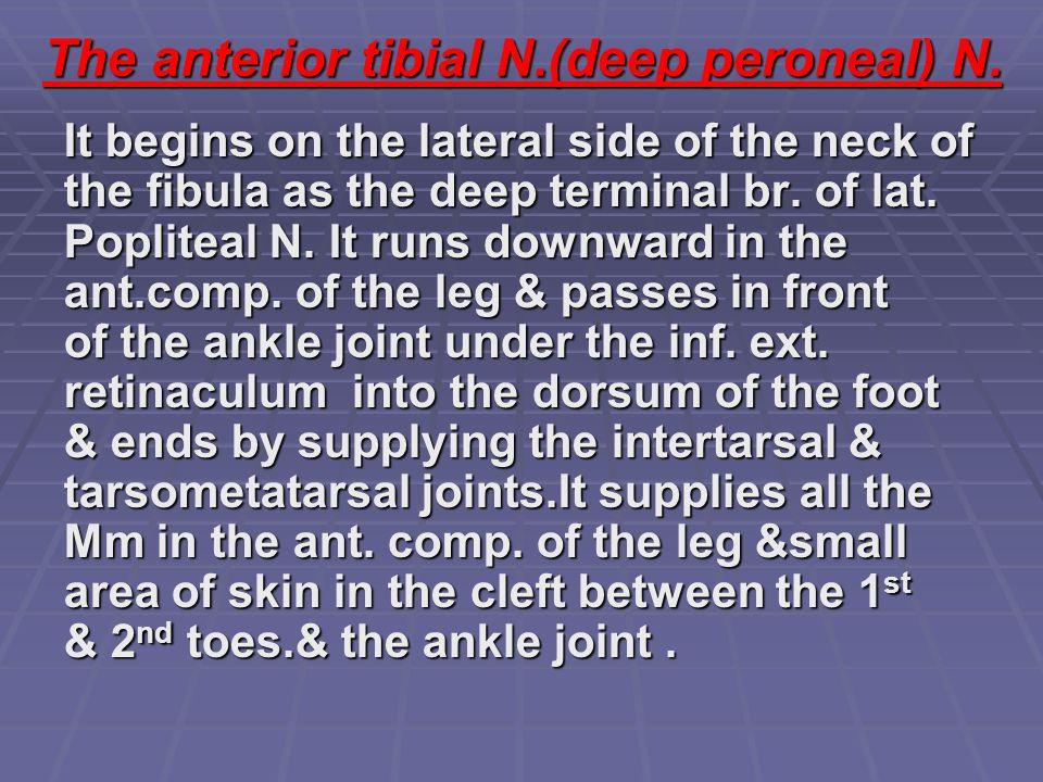 The anterior tibial N.(deep peroneal) N.