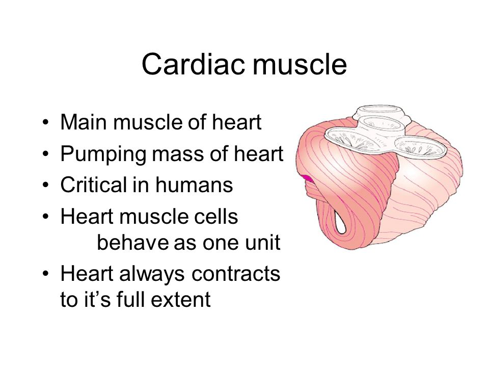 Cardiac muscle Main muscle of heart Pumping mass of heart