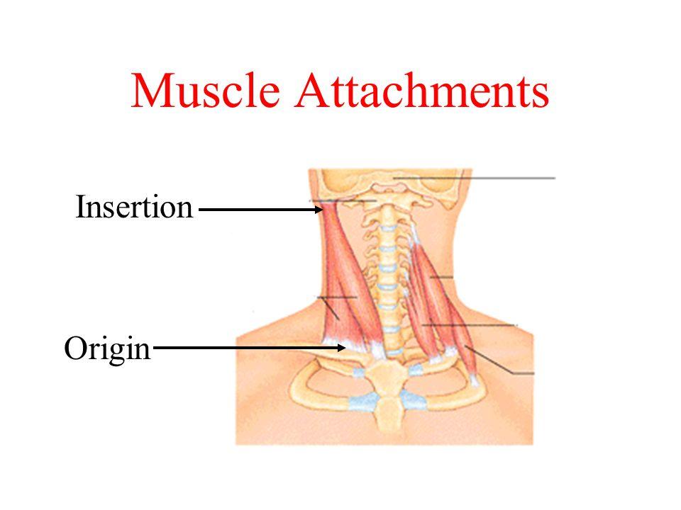 Muscle Attachments Insertion Origin