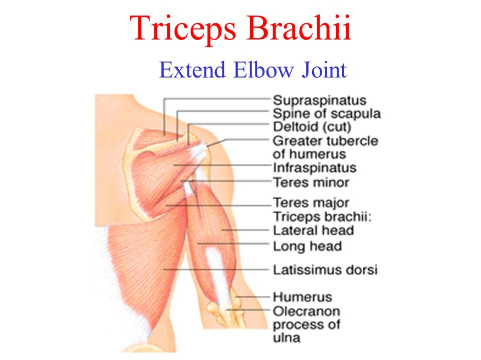 Triceps Brachii Extend Elbow Joint