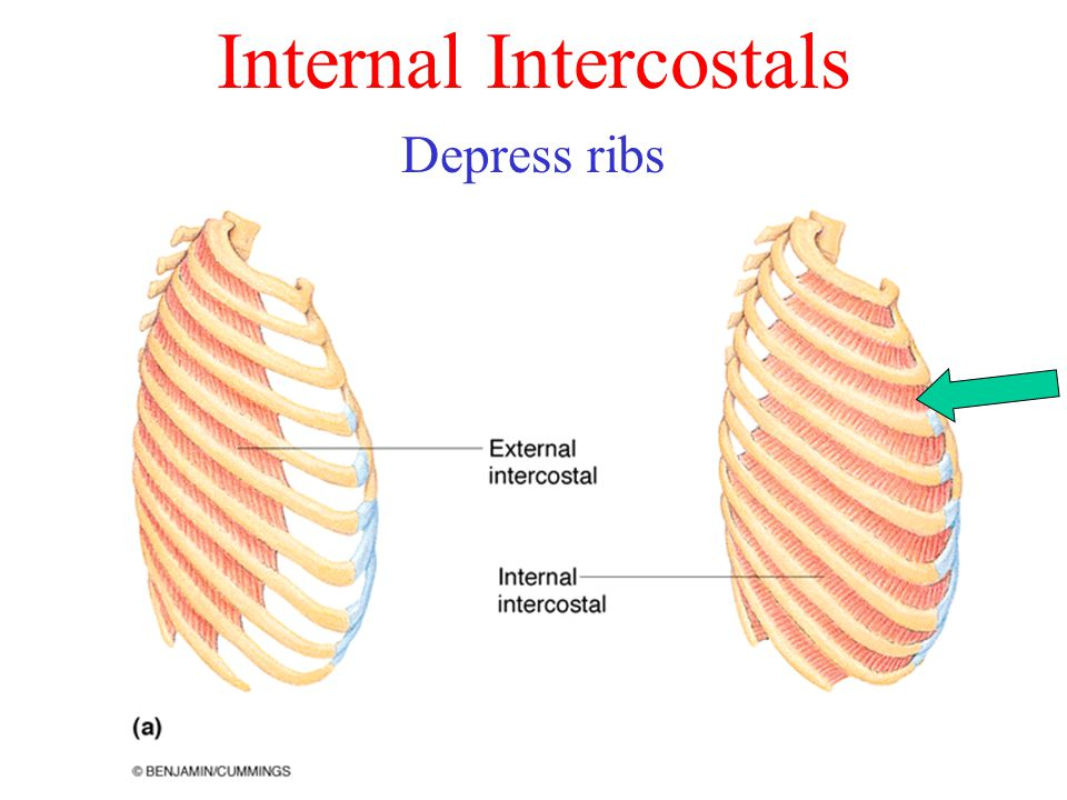 Internal Intercostals