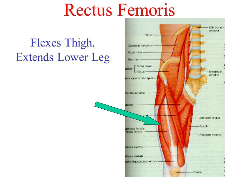 Flexes Thigh, Extends Lower Leg