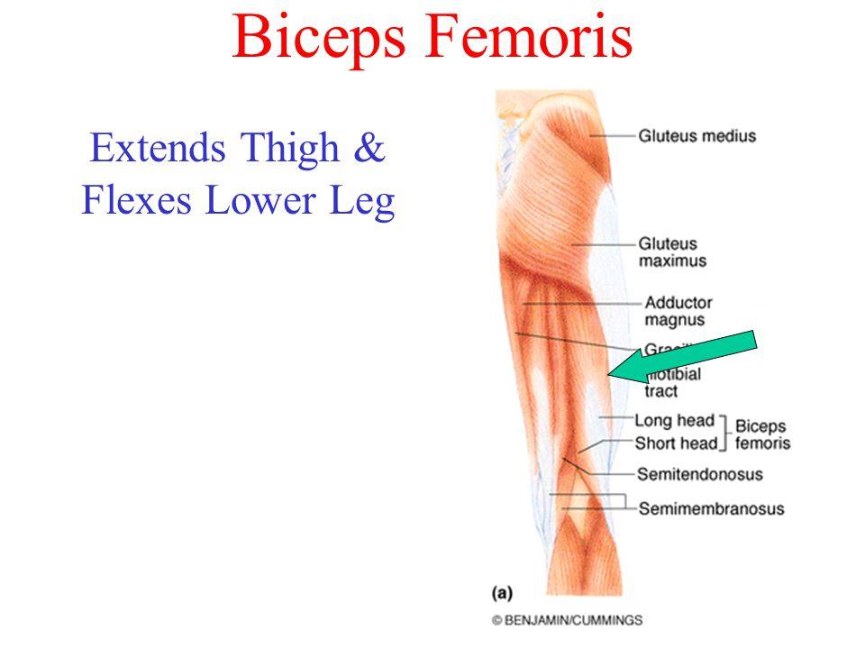 Extends Thigh & Flexes Lower Leg