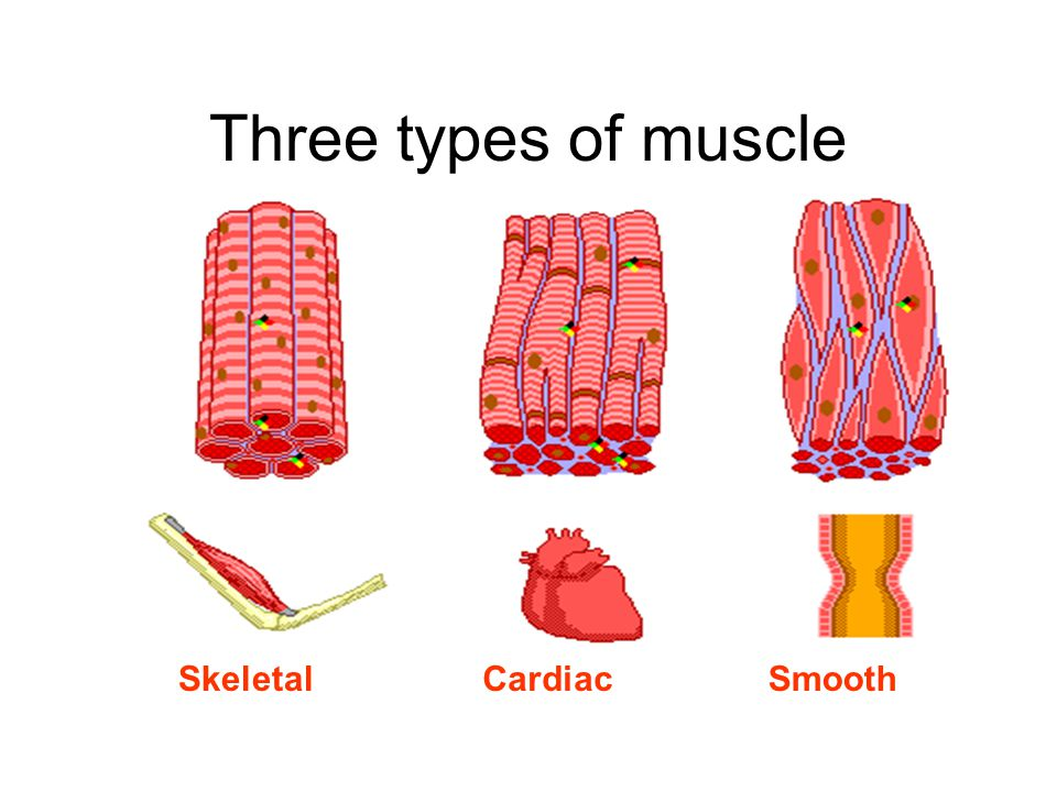 Three types of muscle Skeletal Cardiac Smooth