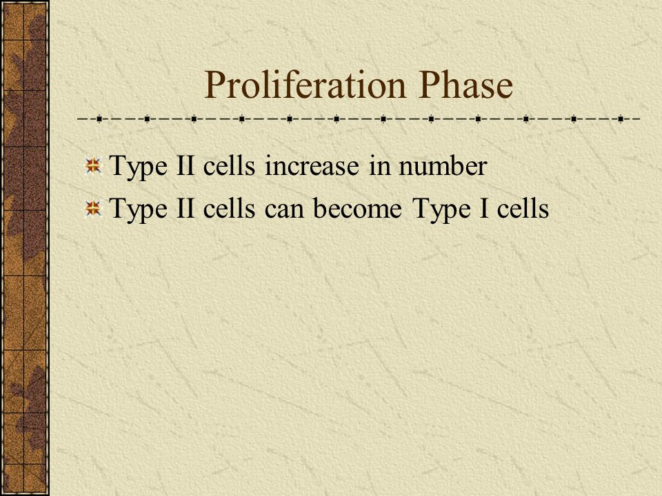Proliferation Phase Type II cells increase in number
