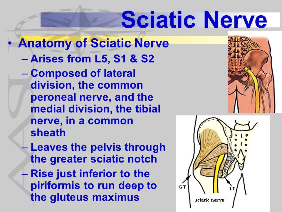 Sciatic Nerve Anatomy of Sciatic Nerve Arises from L5, S1 & S2