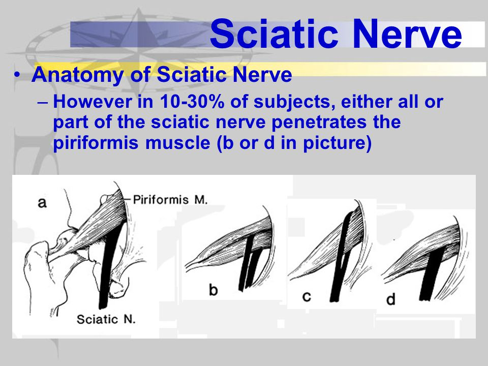 Sciatic Nerve Anatomy of Sciatic Nerve