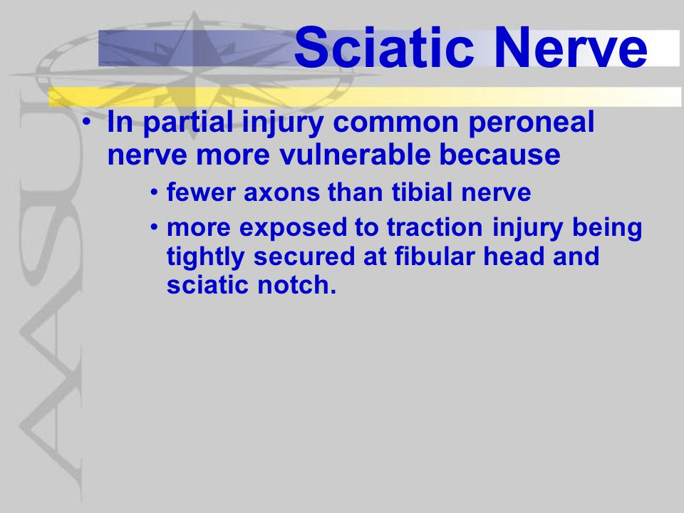 Sciatic Nerve In partial injury common peroneal nerve more vulnerable because. fewer axons than tibial nerve.