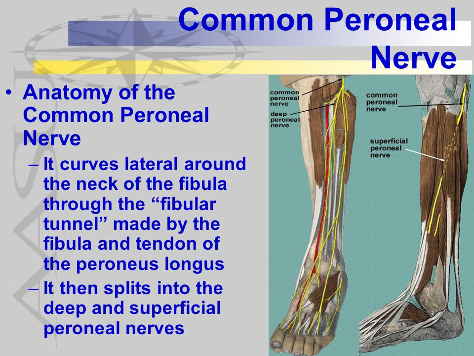 Common Peroneal Nerve Anatomy of the Common Peroneal Nerve