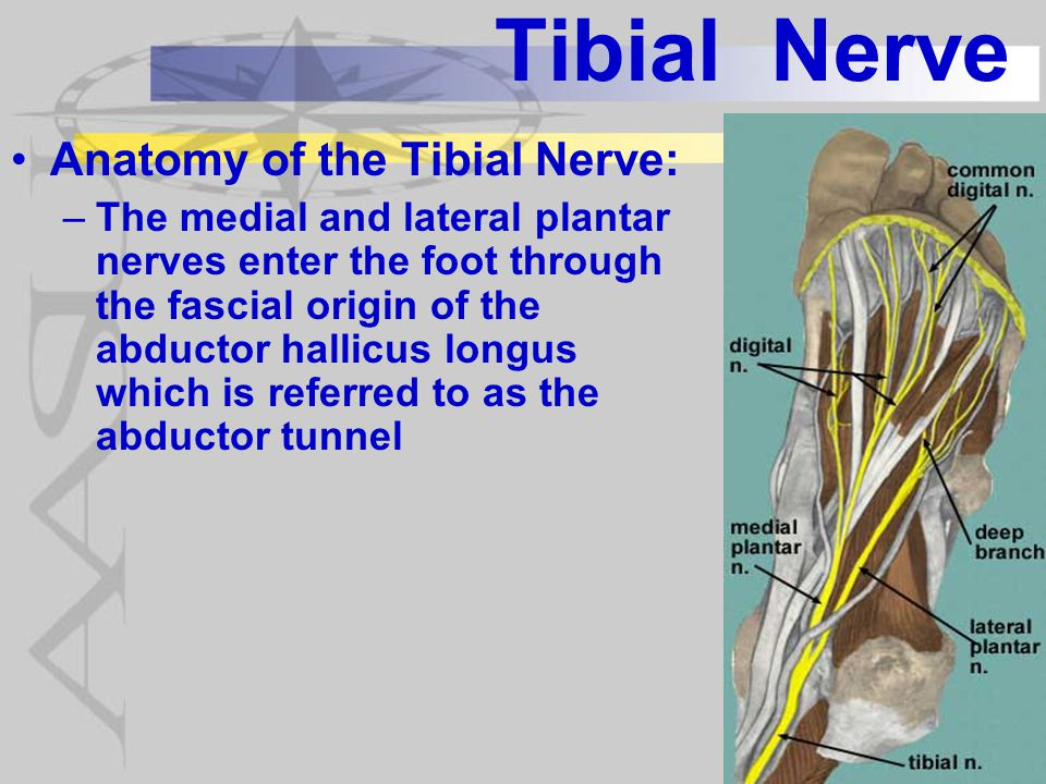 Tibial Nerve Anatomy of the Tibial Nerve: