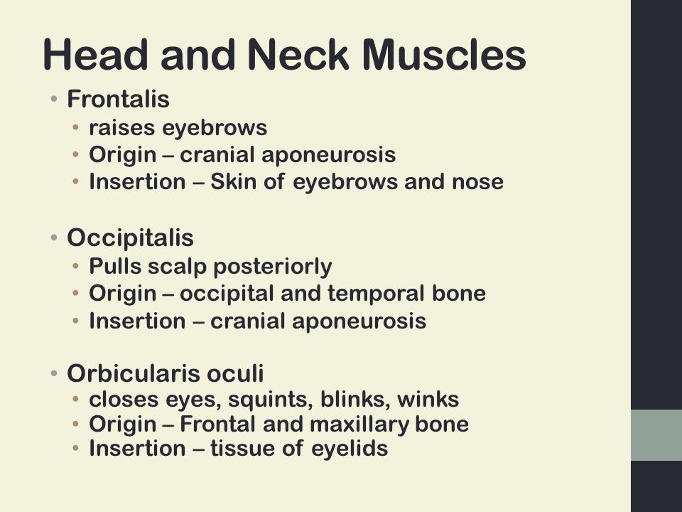 Head and Neck Muscles Frontalis Occipitalis Orbicularis oculi