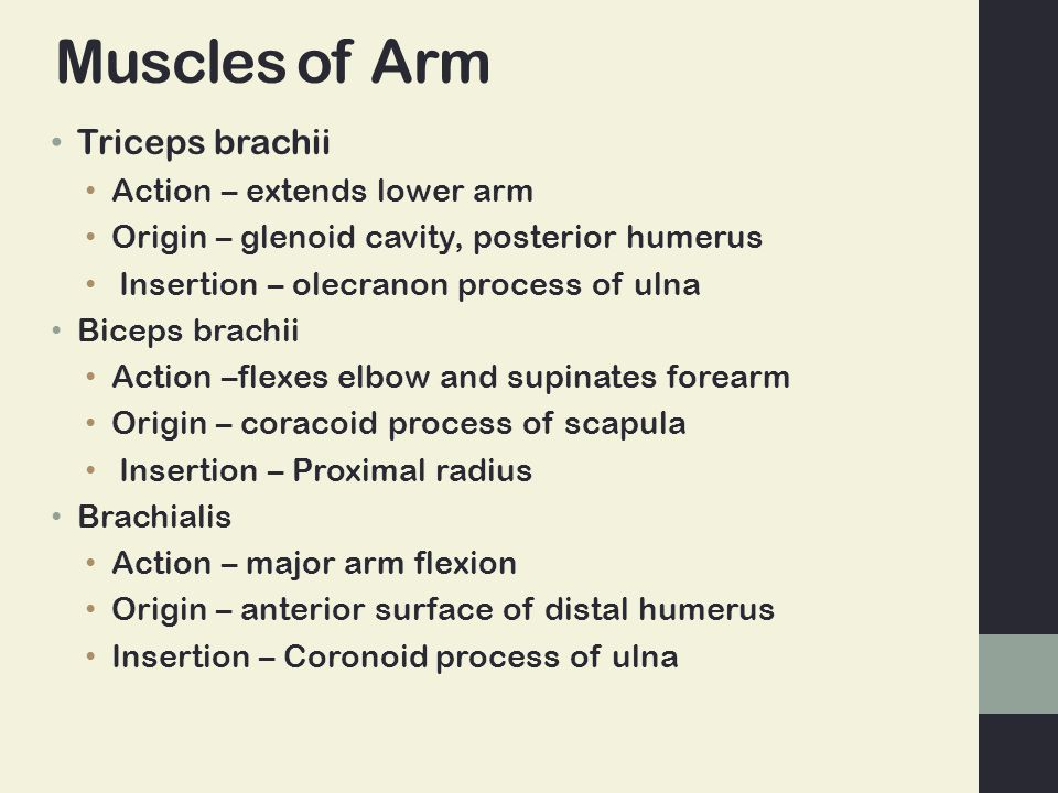 Muscles of Arm Triceps brachii Action – extends lower arm