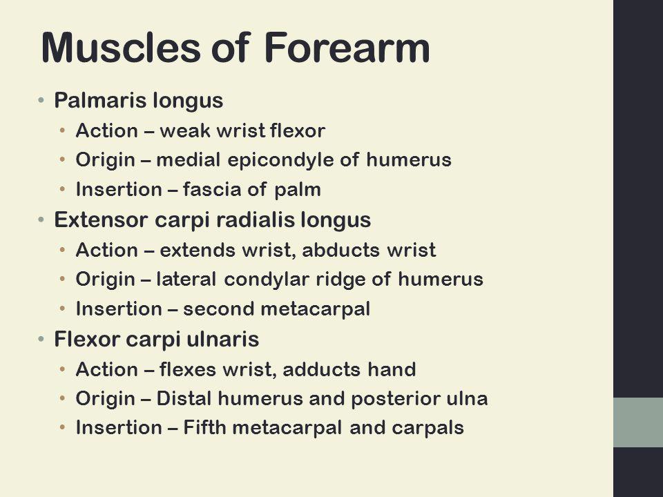 Muscles of Forearm Palmaris longus Extensor carpi radialis longus