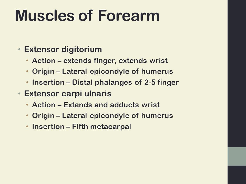 Muscles of Forearm Extensor digitorium Extensor carpi ulnaris