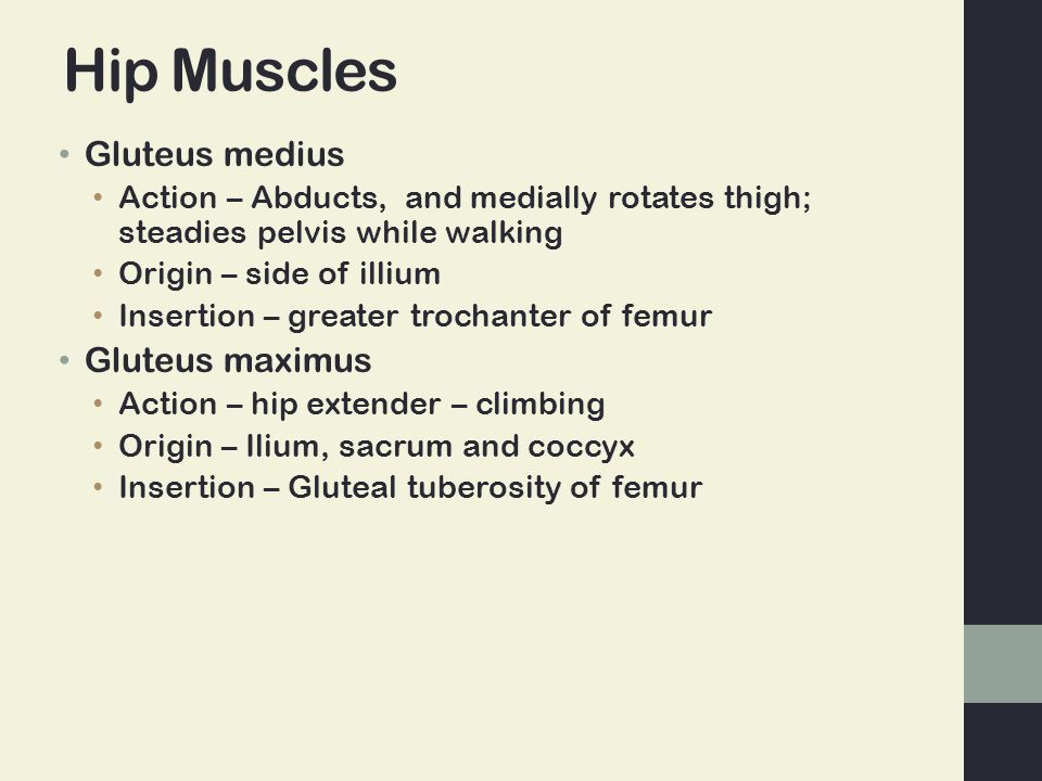 Hip Muscles Gluteus medius Gluteus maximus
