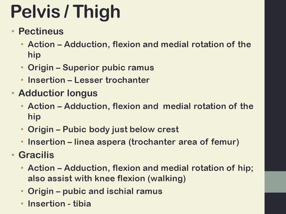 Pelvis / Thigh Pectineus Adductior longus Gracilis