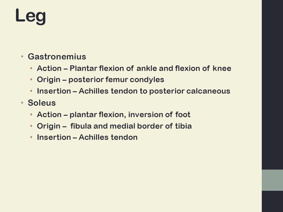 Leg Gastronemius Soleus