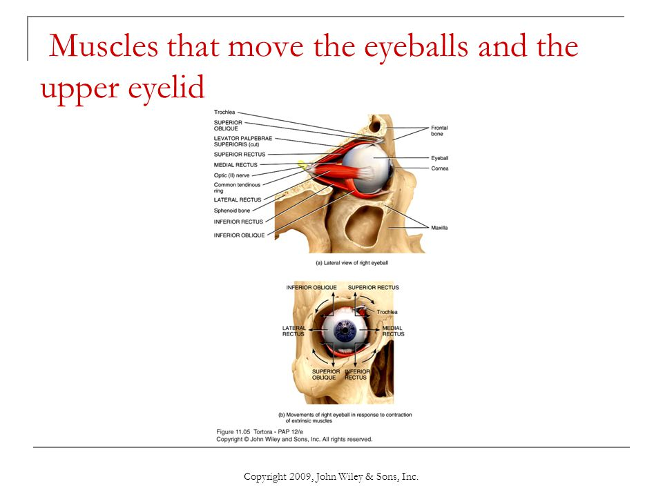 Muscles that move the eyeballs and the upper eyelid